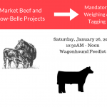 Beef Weighing & Tagging