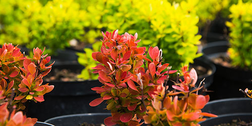 Red and yellow barberry shrubs