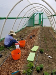 A volunteer weeds the hoop house at the R&E Center in Powell.