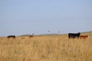 cattle and sage grouse in Wyoming